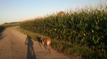 Lockerer Trab zwischen den Maisfeldern