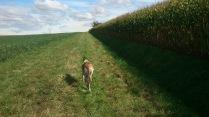 Auf diesen Feldwegen, mit etwa 20 cm hohem Gras, gefällt es Evita super...