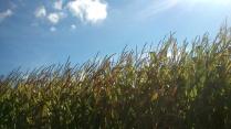 ... und wir kommen an mannshohen Maisfeldern vorbei...