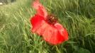 Dieses intensive Rot und die zarten Blütenblätter!