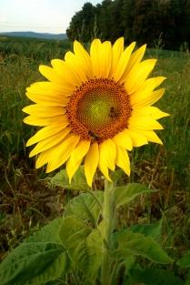 20180801-Running-Sunflower