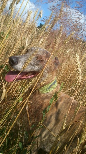 DogWalk_Wheat-01
