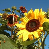 IN-SunFlower-03
