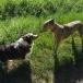 20200729-Running-041-Pixie_AustralianShepherd